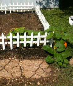 JUN 2012: The Pumpkin decided to grow only at the edge and now its out of control!