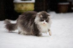 A raça de gato Maine Coon é uma das maiores raças domésticas de felinos.