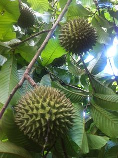 El Salvador - la sincuya es una fruta comun en Suchitoto, la cosecha se espera para septiembre / suchitoto.tours @gmail.com