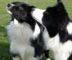 Border Collies, so beautiful and smart