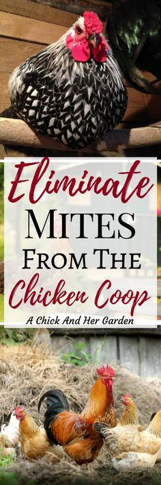 Finding mites in your coop can be a nightmare!
