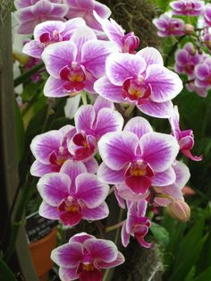 I'm willing to bet that most orchid growers are introduced to the hobby through Phalaenopsis orchids (aka moth orchids) that are already in bloom. Phals are attractive houseplants even when t… Orchid Roots, Moth Orchid, Phalaenopsis Orchid, Orchid Plants, Orchid Flowers, Purple Orchids, Potted Plants, Purple Flowers, Pink Roses