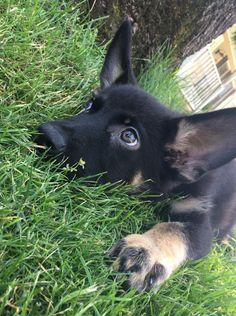German shepherd puppy - our little Anja