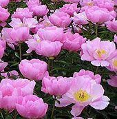 Planting Peonies - favorite flower ever