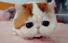 #korea #catlovers #adorable #kitten  本格韓式無辜眼