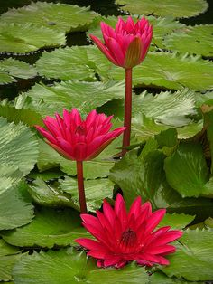 Gorgeous magenta red blooming Water Lilies in striking contrast to their glossy green leaves!