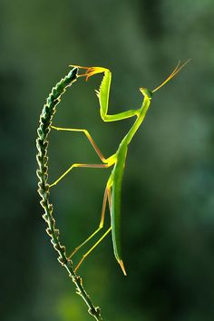Mantis, We all living beings are made of the same energy and substance either mater or antimatter, therefore we have to respect life in all its disguises, don't support animal killing for meat and pollution, go vegan and green for all, NinaOhman, http://www.ninaohmanarts.com