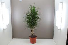 Полный Драцена — пальма в домашних условиях