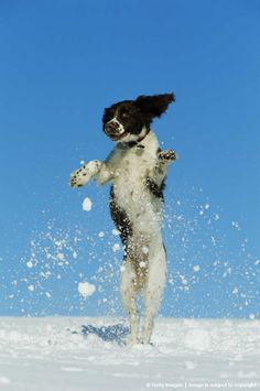 Springer spaniel puppy playing in snow, jumping in the air