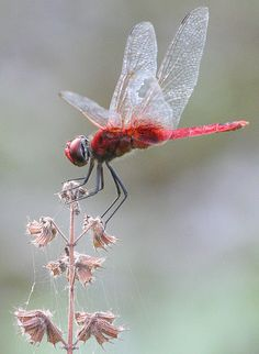 Red dragonfly from Kerala, India. Photo by Gary Tree Beautiful Bugs, Beautiful Butterflies, Beautiful World, Simply Beautiful, Flying Insects, Bugs And Insects, Beautiful Creatures, Animals Beautiful, Gossamer Wings