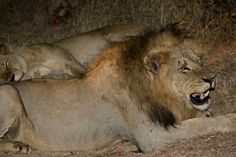 Dreadlocks Lion Sketch, Wild Lion, Lion Pictures, Wild Creatures, Hyena, Predator, Big Cats, Badass, Beautiful Pictures