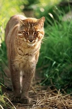 African Golden Cat -- (cat species series #1) I want one!  He probably wouldn't run from my dogs!