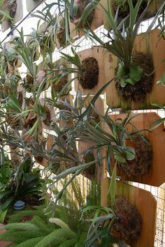 Wall of Staghorn Ferns by FarOutFlora, via Flickr