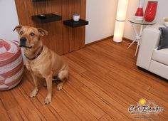 Kimbo on Fossilized™ Cali Bamboo flooring which is also installed up the wall. (Color here is Distressed Mocha.)