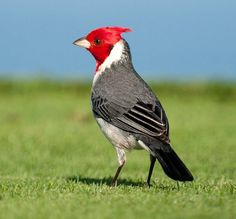 Red-Crested Cardinal or Brazilian-Cardinal (Paroaria coronata) is a tanagers not closely related to the true cardinals. It is found in northern Argentina, Bolivia, southern Brazil, Paraguay and Uruguay. It has also been introduced to Hawaii and Puerto Rico.
