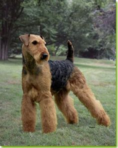 Starr of Hollytroy. Airedale Terrier.