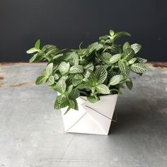 Indoor Vegetable Gardening Houseplant - Fittonia White - Fittonia is a beautiful plant with intricate vein coloration in white, pink, and/or red making it a great addition to anybody's plant collection. Indoor Vegetable Gardening, Hydroponic Gardening, Hydroponics, Organic Gardening, Gardening Tips, Urban Gardening, Garden Spaces, Garden Plants, Indoor Plants
