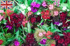 British sweet williams at New Covent Garden Flower Market - June 2015