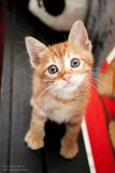 Pleading kitten, orange tabby with round eyes #cats