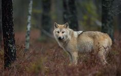 The wolf arouse conflicting emotions in Finland. Photo by Kimmo Ohtonen Arctic Wolf, Wildlife Photography, Finland, Husky, Scenery, Birds, Dogs, Nature, Animals