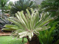 Encephalartos Brevifolioatus Escarpment Cycad S A Cactus Plants, Garden Plants, Identify Plant, Noblesse, Plant Nursery, Landscaping Plants, Plant Design, Planting Seeds, Botany