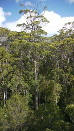 tingle forest treetop canopy walk, Valley of the Giants, Walpole-Nornalup National Park, Australia