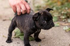 baby brindle frenchie