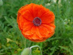 Poppy...photo by Joy Fussell