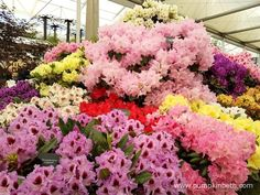 Millais Nurseries' Gold Medal winning exhibit, inside the Great Pavilion, at the…