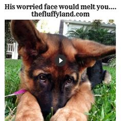 This lovely furry deserves a real tight hug when you see his worry face upon realize his owner is not behind. Funny Dog Videos, Funny Dogs, No Worries, Corgi, Youtube, Animals, Corgis, Animales, Animaux