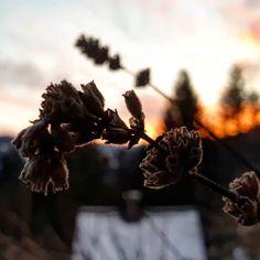 """Gefällt 169 Mal, 1 Kommentare - Helping Flowers (@helping_flowers_essenzen) auf Instagram: """"Gestern Abend hatten wir schönes Abendbrot. Im Vordergrund seht ihr noch eine vertrocknete Blüte des Lavendels. Die Blütenessenz des Lavendels hilft dir, wenn du Beruhigung brauchst…"""" Flowers, Instagram, Lavender, Nice Asses, Royal Icing Flowers, Flower, Florals, Floral, Blossoms"""