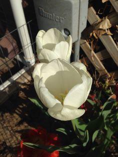 Pristine white tulips