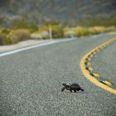 Turtle crossing the road. This is exactly how I found my first California Desert Tortoise.long before it was illegal to take them. I was afraid a car would kill it. Funny Animal Pictures, Funny Animals, Cute Animals, Animals Amazing, Tortoise Care, Sulcata Tortoise, Russian Tortoise, Mojave Desert, Tortoises