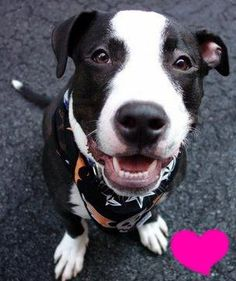 SAFE 11-29-2015 --- Manhattan Center BRUNO – A1058840 MALE, BLACK / WHITE, STAFFORDSHIRE MIX, 5 mos OWNER SUR – EVALUATE, NO HOLD Reason TOO ACTIVE Intake condition EXAM REQ Intake Date 11/24/2015 http://nycdogs.urgentpodr.org/bruno-a1058840/