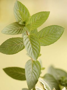 Mint - Mint is a wonderful herb for the beginning gardener. Plant it where you don't mind if it spreads, or keep it from rambling in a container. There are many different varieties of mint to choose: unique flavors like chocolate, orange, pineapple, and classics like spearmint or peppermint. There is even a variety called 'Mojito Mint'.