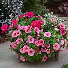 Magenta geraniums, pink petunias, euphorbia Diamond Frost - I want this combo in my pots this summer.