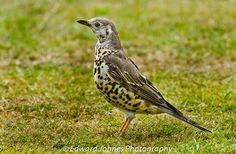 Mistle-Thrush.jpg (1000×655) Larger than the song thrush and it's speckles are also larger. It loves berries and is named after its favourite - mistletoe berries!