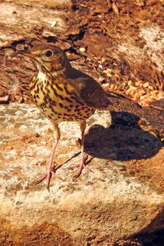 Song Thrush are arriving in the north of the region for our winter. Still hunted and prized by those unfortunate people who think of themselves as normal Song Thrush, Bird Guides, Information About Birds, Area Of Expertise, Andalucia, Months In A Year, Bird Watching, Botany, Conservation