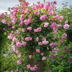 Clusters of clear glowing pink, semi-double flowers. Grégoire Staechelin from David Austin with a 5 year guarantee and expert aftercare. Deadheading Roses, Pruning Roses, Rose Delivery, Rose Care, Pinterest Garden, Little Rose, Flower Names, David Austin Roses, Buy Roses