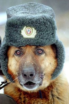 Pics Photos - Dogs Wearing Hats Funny Pics Funny Dogs With Hats 17 Images Pets Military Working Dogs, Military Dogs, Police Dogs, Funny Animal Pictures, Funny Animals, Cute Animals, War Dogs, German Shepherd Dogs, German Shepherds