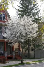 autumn brilliance serviceberry - Google Search Garden Trees, Trees To Plant, Garden Plants, Spring Blooming Trees, Spring Flowers, Types Of Soil, Types Of Plants, Colorful Flowers, White Flowers