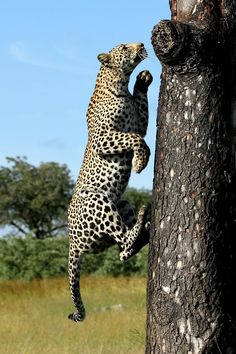 A young female leopard goes vertical, easily scaling a marula tree to use as a vantage point, Savanna Lodge, South Africa by Neil Whyte Phot...