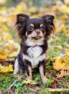Le Chihuahua, Puppy Love, Dogs, Chihuahuas, Health, Fitness, Diy Dog, Little Puppies, Characters
