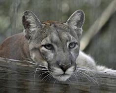 Florida Panther   Flickr - Photo Sharing!
