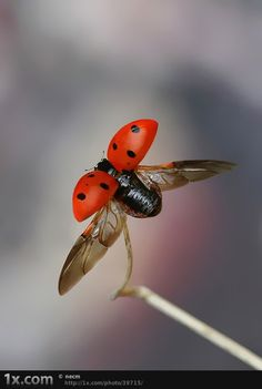 A close look at a ladybug. @Ms. Pin A Holic via ✮ ✄ ƉяɛΔм ƜɛαѴɛЯ ✄