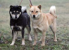 hokkaido dog -about 40 pounds Hokkaido Dog, Lineage, Shiba Inu, Plays, Dog Breeds, Distance, Husky, Cold, Japan