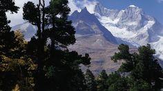 Bosque de alerces en la región del glaciar del Aletsch, Valais