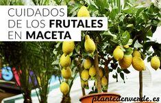 Cuidados de los frutales en maceta