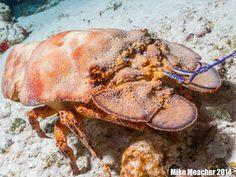 Slipper Lobster, Cozumel 2014 - Mike Meacher Photography