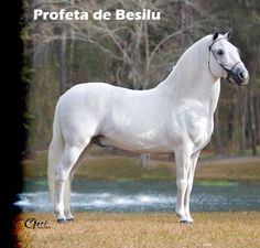 Profeta de Besilu Paso Fino